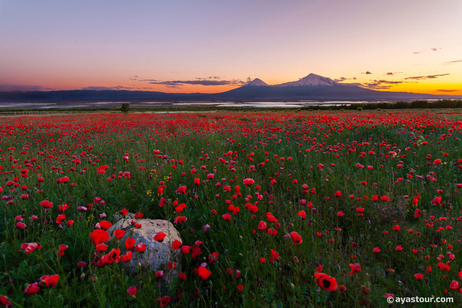 Mount-Ararat-with-tulips-field.jpg