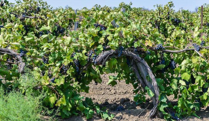 Как делают вино для России в Армении 🇦🇲🍇🇷🇺 - Наша Армения